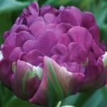 """ტიტა  """"Negrita Double"""" (Tulipa Negrita Double) ბოლქვი 5 ცალი"""
