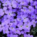 """ობრიეტა """"cascade blue """"(Aubrieta hybrida superbissima cascade blue)  ნერგი"""