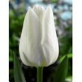 """ტიტა """"White Prince"""" (Tulipa White Prince) ბოლქვი 5 ცალი"""