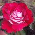 """ვარდი """"Alleluia"""" ( HYBRID TEA ROSE Alleluia ) ზრდასრული მცენარე კონტეინერით"""