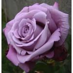 """ვარდი """"CHARLES DE GAULLE ®"""" ( ROSE CHARLES DE GAULLE ®) ზრდასრული მცენარე კონტეინერით"""