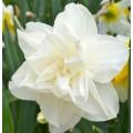 """ნარცისი """"Calgary """" (Narcissus Calgary) ბოლქვი 1 ცალი"""