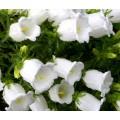მაჩიტა (Campanula Medium White) თესლი 50 მარცვალი