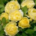 """ვარდი """" Comtesse Du Barry"""" ( FLORIBUNDA ROSE Comtesse Du Barry ) ზრდასრული მცენარე კონტეინერით"""