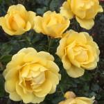 """ვარდი """" Golden Smiles  """" ( FLORIBUNDA ROSE Golden Smiles  ) ნამყენი ნერგი"""