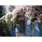 """მარადმწვანე კლემატისი """"Apple Blossom"""" (CLEMATIS ARMANDII Apple Blossom) ნერგი კონტეინერით"""