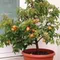 გარგარი ჯუჯა ფორმის (Dwarf apricot tree ) ნერგი კონტეინერით