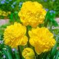 """ნარცისი """"Eastertide  """" (Narcissus Eastertide ) ბოლქვი 5 ცალი"""