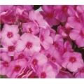 ფლოქსია (Phlox Pink ) ნერგი კონტეინერით