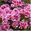 """კოდეტია """"Rembrandt"""" (Godetia Grandiflora Azaelaflora Rembrandt) თესლი"""