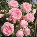 """ვარდი  'Giardina"""" (climbing rose """"Giardina"""") ზრდასრული მცენარე კონტეინერით"""