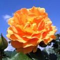 """ვარდი """"GOLDELSE ®"""" ( floribunda ROSE GOLDELSE ®) ზრდასრული მცენარე"""