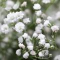 """წინწკალა """"White"""" (Gypsophila paniculata White) ფესვურა 3 ცალი"""