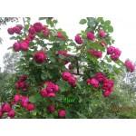 """ვარდი """"ASCOT ®"""" (HYBRID TEA ROSE ASCOT ® ) ზრდასრული მცენარე კონტეინერით"""