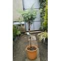 ჰიმალაის კედარი (cedrus deodora ) ფორმირებული მცენარე კონტეინერით.