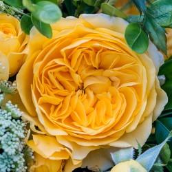 """ვარდი """"INKA"""" (floribunda ROSE WEDDING INKA) ზრდასრული მცენარე"""