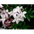 ჟასმინი ხვიარა (Jasminum polyanthum), 2-წლიანი ნერგი კონტეინერით.