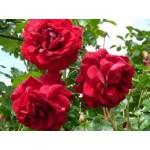 """ვარდი """" Naheglut """" ( CLIMBING ROSE Naheglut )  ზრდასრული მცენარე კონტეინერით"""