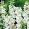 """დელფინიუმი """" White King"""" (DELPHINIUM CONSOLIDA White King) თესლი 50 მარცვალი"""