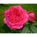 """ვარდი """"MARITIM ®"""" (CLIMBING ROSE MARITIM ®) ზრდასრული მცენარე კონტეინერით"""