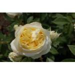 """ვარდი """"MY GIRL ®"""" ( HYBRID TEA  ROSE MY GIRL ®) ზრდასრული მცენარე კონტეინერით"""