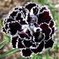 "მიხაკი ""Black & White"" (Dianthus heddewigii Black & White) თესლი"