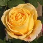 """ვარდი """"CANDLELIGHT ®"""" ( Hybrid Tea ROSE CANDLELIGHT ®) ზრდასრული მცენარე"""