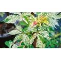 """პართენოცისუსი """" STAR SHOWERS Monham"""" (Parthenocissus quinquefolia STAR SHOWERS Monham) ნერგი 2 ლტ. კონტეინერით"""