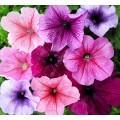 """პეტუნია """" Veined Mix"""" (Petunia Multiflora F2 Veined Mix) თესლი 50 მარცვალი"""