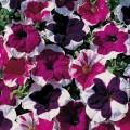 """პეტუნია """" F2 Picotee Mix"""" (Petunia Multiflora F2 Picotee Mix) თესლი 50 მარცვალი"""