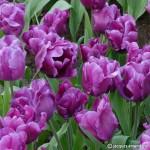 """ტიტა """"Purple rain """" (TULIPA Purple rain ) ბოლქვი 5 ცალი"""