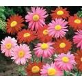 """გვირილა კავკასიური """"Robinson's Mix"""", ფერთა ნაკრები (Chrysanthemum coccineum 'Robinson's Mix') თესლი"""