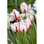 """ტიტა  """"Happy Generation"""" (Tulipa Happy Generation ) ბოლქვი 1 ცალი"""