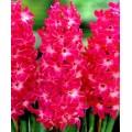 სუმბული 'Red Magic' (Hyacinthus orientalis 'Red Magic')   ბოლქვი 1 ცალი