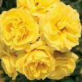 """ვარდი """"CARTE D'OR"""" ( ROSE CARTE D'OR)ზრდასრული მცენარე კონტეინერით"""