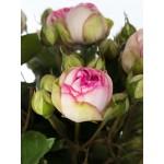 """ვარდი """"CHARMING PIANO ®"""" ( ROSE CHARMING PIANO ®) ზრდასრული მცენარე"""