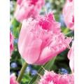 """ტიტა  """"Santander   """" (Tulipa  Santander     ) ბოლქვი 1  ცალი"""
