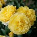 """ვარდი """" Solero  """" ( ROSE Solero  ) ზრდასრული მცენარე კონტეინერით"""
