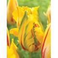 """ტიტა  """"La Courtine Parrot"""" (Tulipa La Courtine Parrot) ბოლქვი 5 ცალი"""