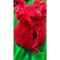 """ტიტა  """"Barbados"""" (Tulipa Barbados) ბოლქვი 5 ცალი"""