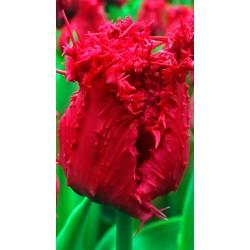 """ტიტა  """"Barbados"""" (Tulipa Barbados) ბოლქვი 1 ცალი"""