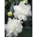 """ნარცისი """"White Medal """" (Narcissus White Medal) ბოლქვი 5 ცალი"""