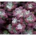 სედუმი (sedum spathulifolium purpureum) ნერგი კონტეინერით