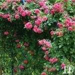 """ვარდი """" Laguna """" ( Large-Flowered Climber Laguna ) ზრდასრული მცენარე კონტეინერით"""