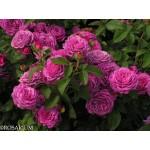 """ვარდი """"HEIDI KLUM ®"""" ( ROSE HEIDI KLUM ®) ზრდასრული მცენარე"""