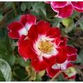 """ვარდი """" Little Artist """" ( ROSE Little Artist ) ზრდასრული მცენარე კონტეინერით"""