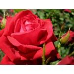 """ვარდი """"Kardinal 85"""" ( HYBRID TEA ROSE Kardinal 85 ) ნამყენი ნერგი"""