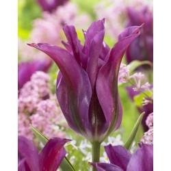 """ტიტა """"Purple Doll"""" (Tulipa viridiflora 'Purple Doll') ბოლქვი 5ცალი"""