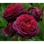 """ვარდი """"Astrid Grafin von Hardenberg"""" (Shrub ROSE Astrid Grafin von Hardenberg) ზრდასრული მცენარე კონტეინერით"""