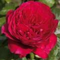 """ვარდი """"Alain Souchon"""" ( HYBRID TEA ROSE Alain SouchonL ) ზრდასრული მცენარე კონტეინერით"""
